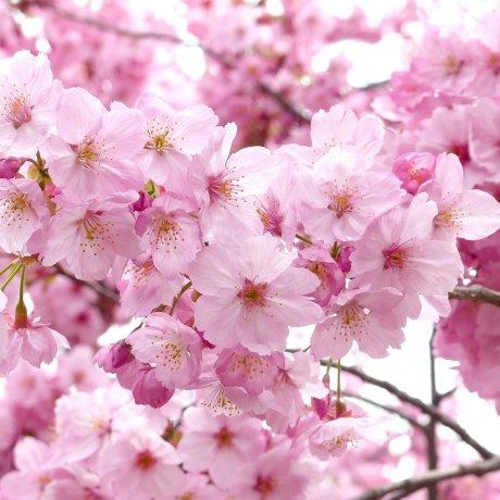 Atami Castle Cherry Blossom Festival