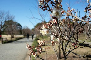 Plum flowers in bloom at Kairakuen