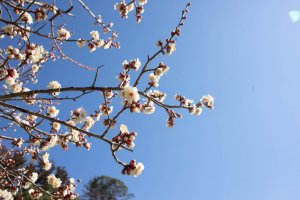 One of the many varieties of plum flowers at Kairakuen