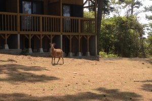 Deer often approach the cabins