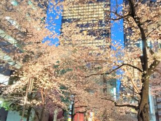 Cherry blossoms and buildings