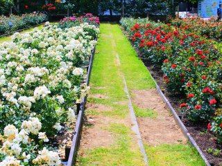 The Rose Garden of Peace