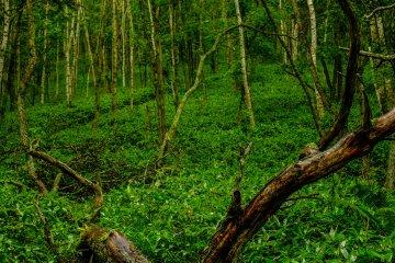清晨的漫步最棒了,此時蟲鳴鳥叫聲正此起彼落,整座森林被青苔覆蓋