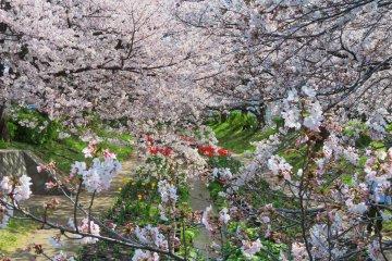 Egawa Sakura