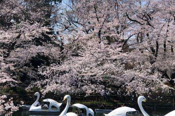 Cherry Blossoms at Inokashira Park
