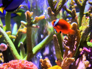 A clown fish
