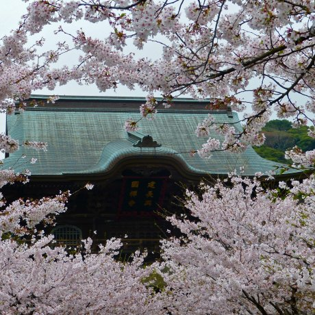 Kamakura Kencho-ji Temple in Spring