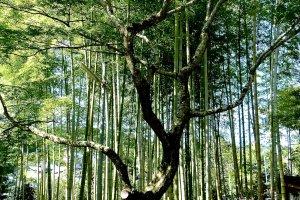 清々しい境内の竹林