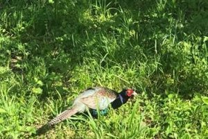 The Green Pheasant is a beautiful bird to watch.