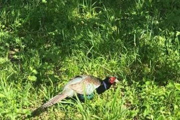 The Green Pheasant - Japan's National Bird
