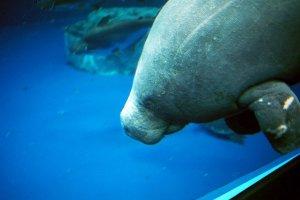 A dugong at Toba Aquarium