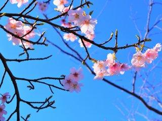 可愛らしい河津桜