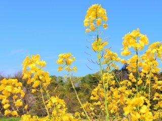 参道に咲く菜の花