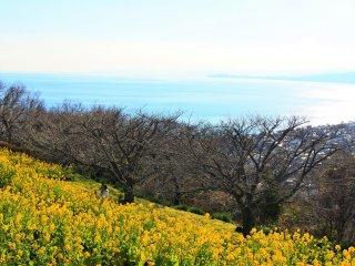 相模湾と菜の花畑