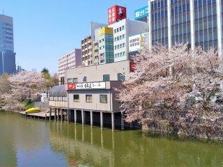 橋から眺める桜並木
