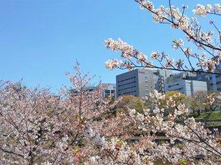ビルと桜の景色