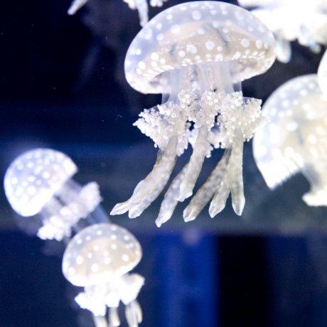 Jellyfish Invade Sumida Aquarium