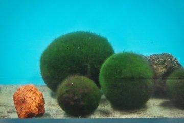 Marimo (algae ball)