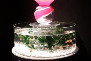 The goldfish swimmingly merrily