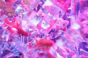 A burst of goldfish