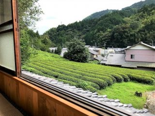 Looking out over the Green Tea fields. The scent is marvelous!