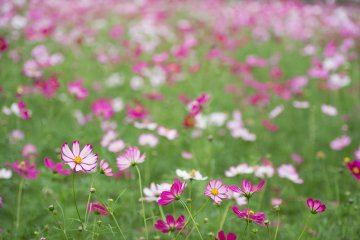 5 Spots to Enjoy Cosmos Flowers in Japan