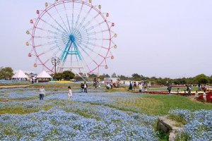 Nemophila, or baby blue eyes, at the Uminonakamichi Flower Park