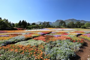 Kuju Flower Park is filled with colorful blooms