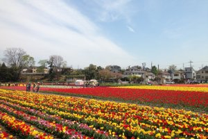 Rows of tulips in the Tokyo suburbs