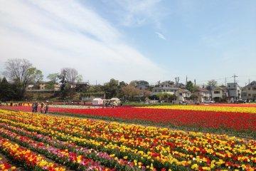 Hamura Tulip Festival