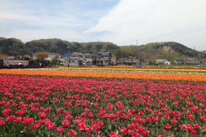 Various colors and varieties of tulips are on display