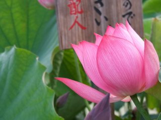 Sign in the pond identifying the type of lotus