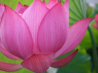 A gorgeous pink lotus in full bloom