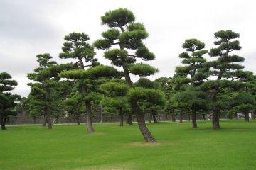皇居外苑的松树 美极了