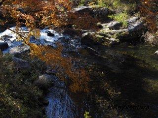 Yellow momijis over Arakawa River