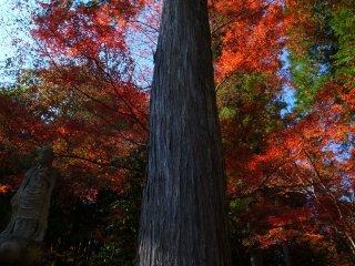 Momijis illuminate the quiet Kannon-sama, the Goddess of Mercy