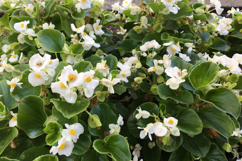 Hamura City flowers