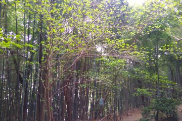 Bamboo grove trail leading to shrine