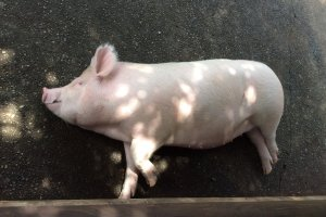 One of the three resident pigs at Saiboku!