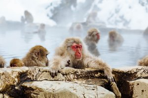 Steamy onsen - always a good idea, and even the monkeys think so!