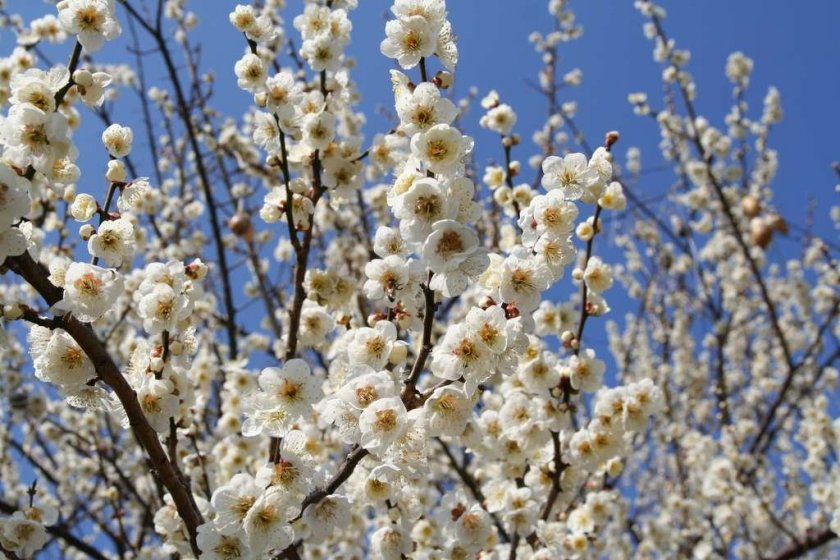 White plum blossoms at the Soga Plum Grove