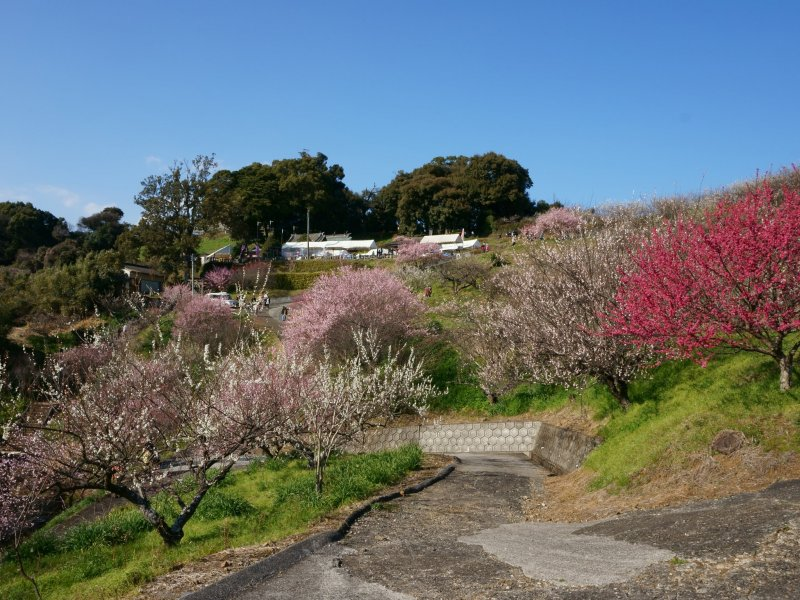 The plum grove here is filled with over 10,000 trees!