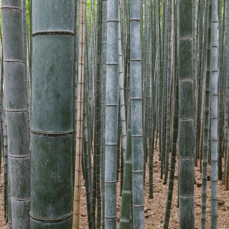Bamboo: The Essence of Japanese Aesthetics