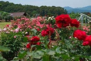 Beautiful roses at Echigo Hillside Park