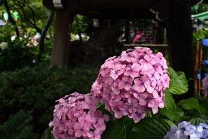 Beautiful hydrangeas at Hakusan Shrine