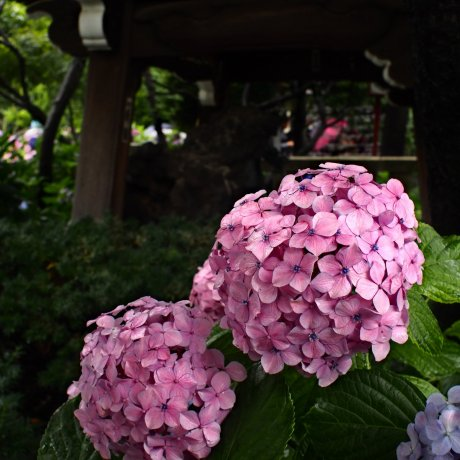 Hakusan Shrine Hydrangea Festival