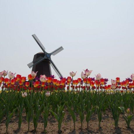 Kamiyubetsu Tulip Fair