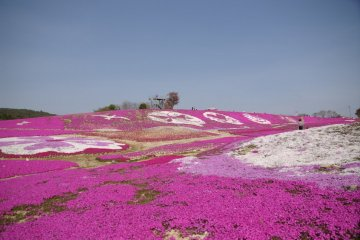 Moss Phlox and Nemophila at Sera Kogen Flower Village