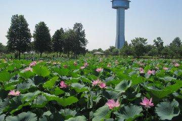 Gyoda Kodaihasu-no-sato Lotus Festival