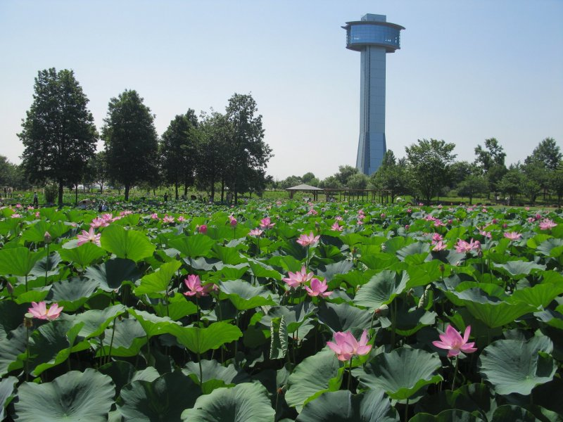 Colorful lotus flowers in bloom with the observation tower in the background
